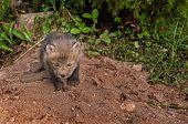 Red Fox Kit (vulpes Vulpes) Creeps Forward
