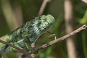 A Chameleon (chamaeleo Senegalensis) Slowly Climbing On A Branch