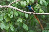 A Male African Paradise Flycatcher (terpsiphone Viridis) Perched On A Branch
