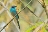 A Male Red-cheeked Cordon Bleu (uraeginthus Bengalus) Perched In Bamboo