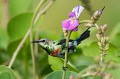 A Young Male Beautiful Sunbird (nectarinia Pulchella) Perched By A Flower