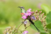 A Young Male Beautiful Sunbird (nectarinia Pulchella) Perched On A Flower