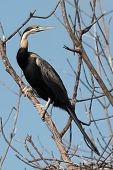 An African Darter (anhinga Rufa) Perched On A Mangrove Branch