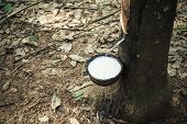 stock photo of afforestation  - milk of rubber tree flows into a bowl - JPG