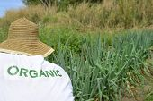 Sustainable Agriculture: Organic farmer harvesting green onion