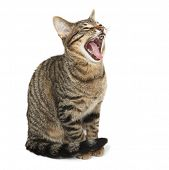 Bengal kitten yawning with its mouth wide open