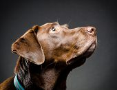 Chocolate lab looking up