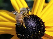 picture of black-eyed susans  - A Honey Bee on a Black - JPG