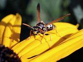 European Paper Wasp on Black-eyed Susan
