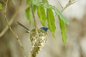 A Close Up Of Black-naped Monarch In Its Nest