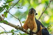 A Close Up Of Black Giant Squirrel Climbing On The Tree