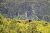A Group Of Wild Gaur Eating Grass In The Forest