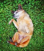 a cute chihuahua rolling in the grass
