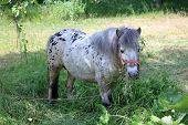 Pony in the grass