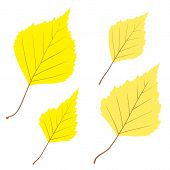 Set of vector birch leaves for your design