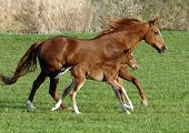 mare horse with foal