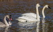 stock photo of trumpeter swan  - A family of trumpeter swans - JPG
