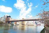 Queensboro Bridge and cherry blossom over Manhattan New York city.