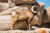 Bighorn Sheep On The Rocks