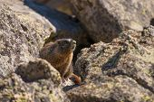 Marmot On The Rock
