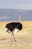 Masai Mara Ostrich