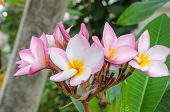Plumeria Beautiful Pink Inflorescence