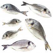 Collage of fresh dorado fishes, isolated on white