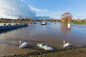 Swans on River Stour Christchurch Dorset England UK