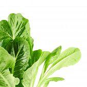Roman salad lettuce leaves