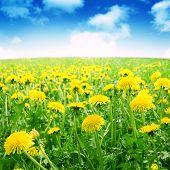 Dandelion field under blue sky in summertime.