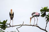 Painted storks on tree top