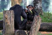 pair of chimpanzee feeding in a zoological park