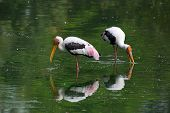 Painted stork feeding in a pond
