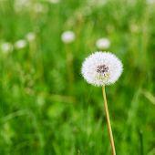 Dandelion flower against the green background