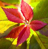 red leave with backlight