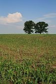 stock photo of zea  - vertical image of midwestern corn field with two trees on the horizon - JPG