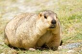 Funny Marmot On The Meadow