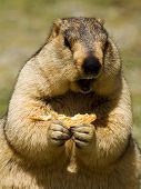 Funny Marmot With Biscuit On The Meadow