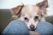 foto of puppy dog face  - A Papillon - JPG