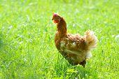 hen in the yard in summer