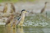 grey heron in natural habitat (ardea cinerea) in natural habitat