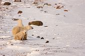 Polar Bear Mother And Cubs Surveying Area