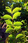 image of hazelnut tree  - beautiful leaves of a hazlenut tree in detail - JPG