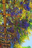 Wistaria Blossom