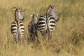 Common Zebras From Behind