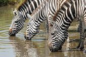 Common Zebras Drinking In Serengeti