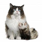 Ragdoll gato e um furão sentado na frente de fundo branco