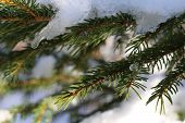 Christmas evergreen spruce tree with snow on white