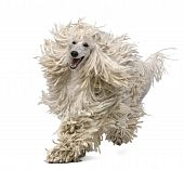 picture of standard poodle  - Front view of White Corded standard Poodle running in front of white background - JPG