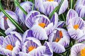 Purple Crocuses In Spring Day Close Up
